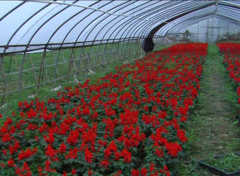 Red flowers grown in green house Stock Video Footage