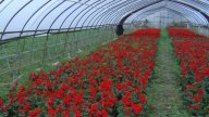 Red Flowers Grown In Green House stock footage
