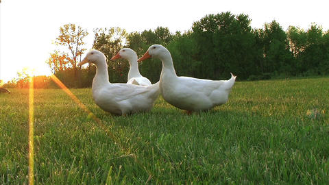 Curious Ducks Stock Video Footage