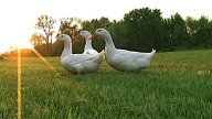 Curious Ducks stock footage