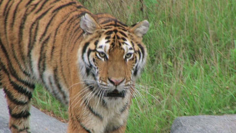 Siberian Tiger Prowling Stock Video Footage