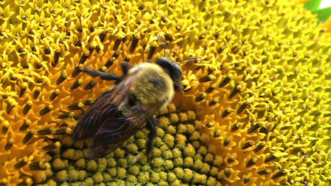 Bumble Bee on Sunflower 01 Stock Video Footage