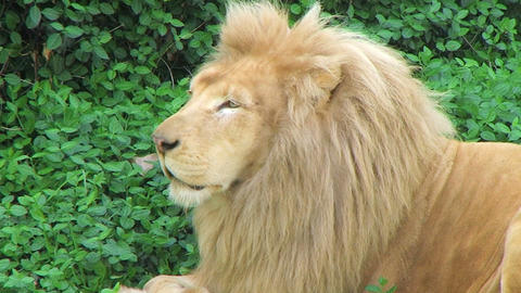 White Lion Yawning Stock Video Footage