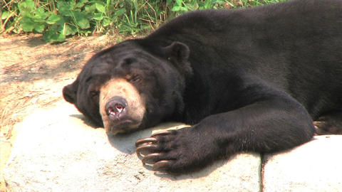 Sun Bear Scratching Head Stock Video Footage
