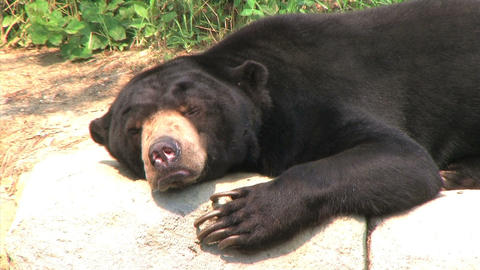 Sun Bear Scratching Head Live Action