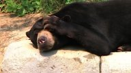 Sun Bear Scratching Head stock footage