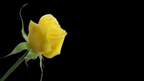 Time-lapse of yellow rose opening ALPHA matte 2 Stock Video Footage