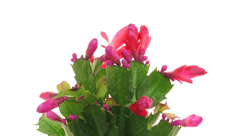 Time-lapse of blooming red Christmas cactus isolated on... Stock Video Footage