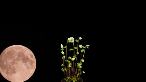 Montage of moon rising behind growing christmas rose 1 Stock Video Footage