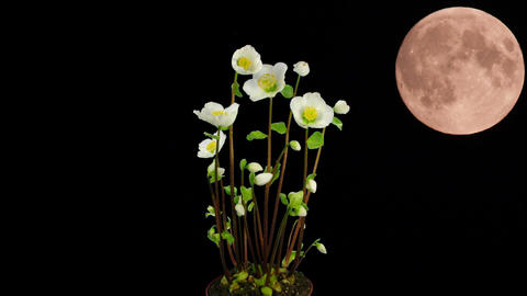 Montage of moon rising behind growing christmas rose 1 Footage