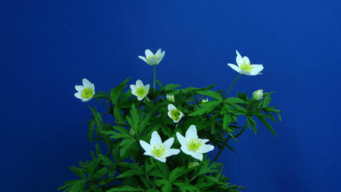 Time-lapse of growing anemone nemorosa 1 (part 1 off 2) Stock Video Footage