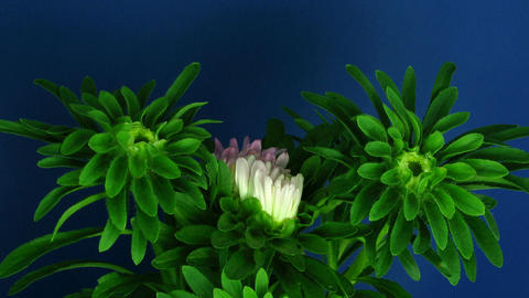 Time-lapse of growing and blooming aster flower 1 Stock Video Footage