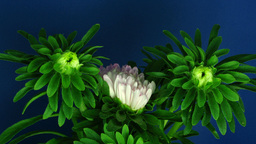 Time-lapse of growing and blooming aster flower 1 Footage