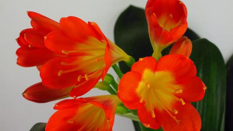 Time-lapse of growing clivia flower 1 Stock Video Footage
