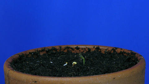 Time-lapse of growing cress plant 1 Stock Video Footage