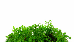 Time-lapse of growing cress plant 3 Stock Video Footage
