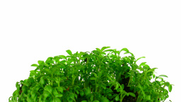 Time-lapse of growing cress plant 3 Footage