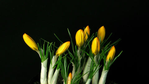 Time-lapse of growing orange crocus 1 Stock Video Footage