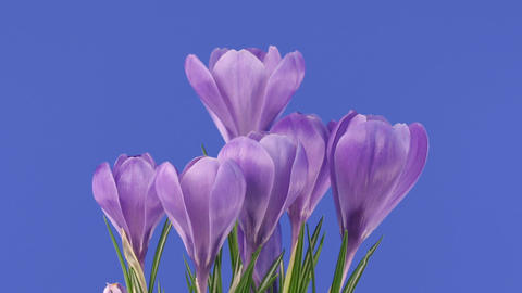 Time-lapse of growing purple crocus 2 Stock Video Footage