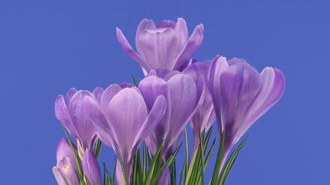 Time-lapse of growing purple crocus 2 Stock Video Footage