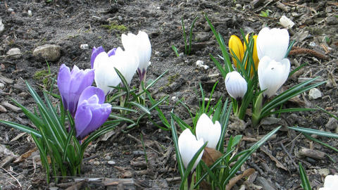 Time-lapse of colorful crocuses closing at sunset Stock Video Footage