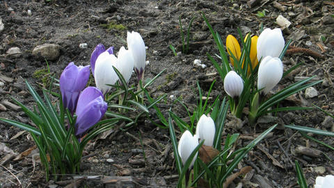 Time-lapse of colorful crocuses closing at sunset Footage