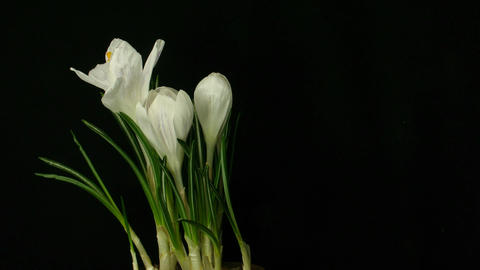 Time-lapse of growing white crocus 3 part B Stock Video Footage
