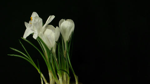 Time-lapse of growing white crocus 3 part B Footage
