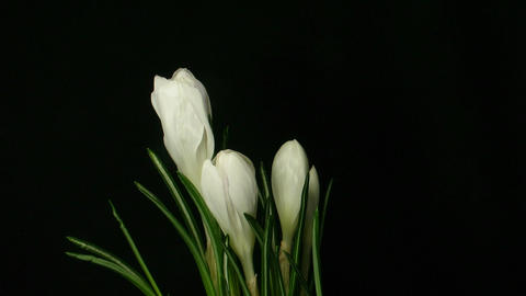Time-lapse of growing white crocus 6 Stock Video Footage