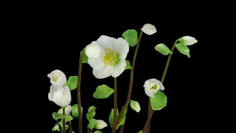 Time-lapse growing opening Helleborus Christmas rose... Stock Video Footage