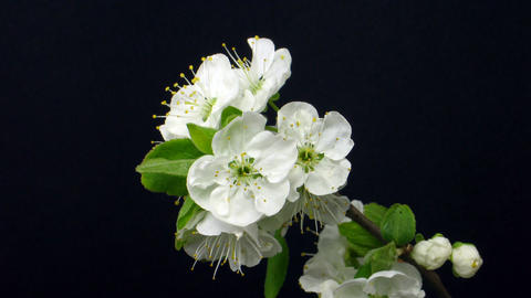 Time-lapse of blooming plum branch 1 Stock Video Footage