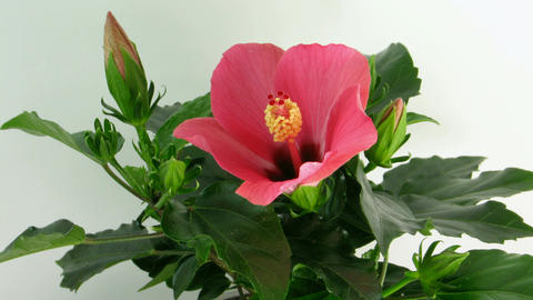 Time-lapse of pink hibiscus flower opening 1 Stock Video Footage