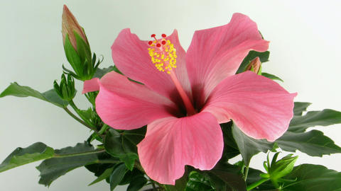 Time-lapse of pink hibiscus flower opening 1 Footage