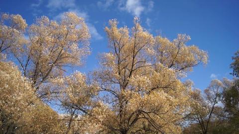 Autumn trees shaken wind Stock Video Footage