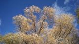 Autumn trees shaken wind 03 Footage