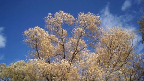 Autumn trees shaken wind 03 Stock Video Footage