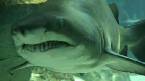 Shark in underwater wild life Footage