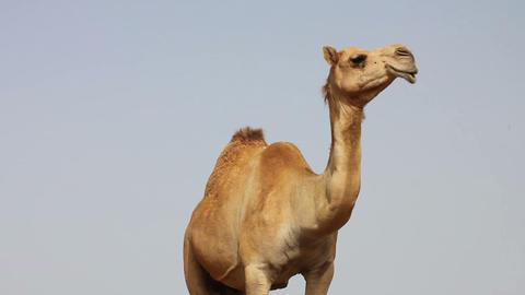 Camel in desert Stock Video Footage