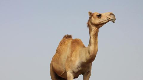 Camel In Desert stock footage