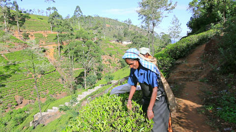 SRI LANKA - MARCH 2012: worker picking tea Footage