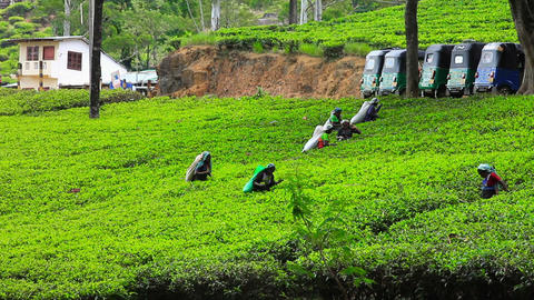 SRI LANKA - MARCH 2012: worker picking tea Stock Video Footage