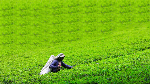 worker collecting tea in sri lanka Footage