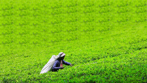 worker collecting tea in sri lanka Stock Video Footage
