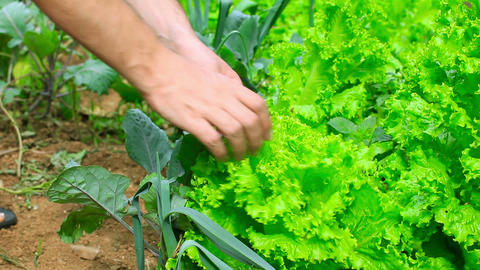 farmer controling green lettute Stock Video Footage