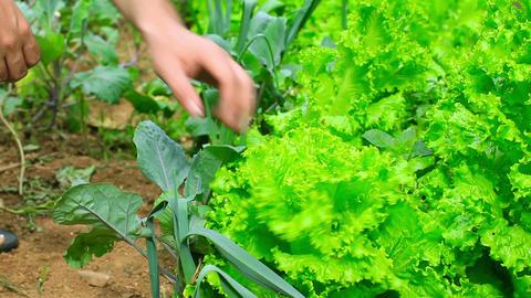 farmer controling green lettute Stock Video Footage