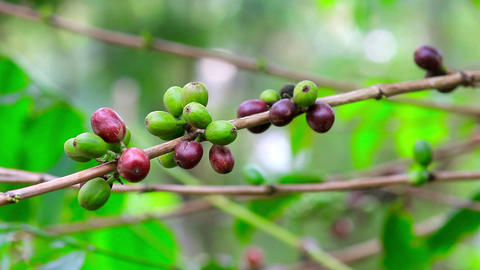 fresh coffee seeds on tree Stock Video Footage
