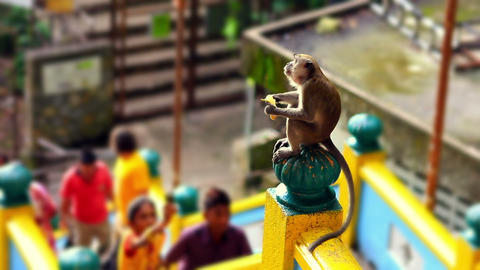 monkeys in batu cave Footage