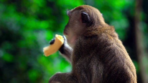 monkeys in batu cave Stock Video Footage