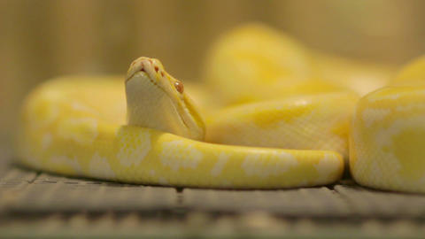 yellow snake Stock Video Footage