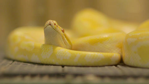 yellow snake Footage